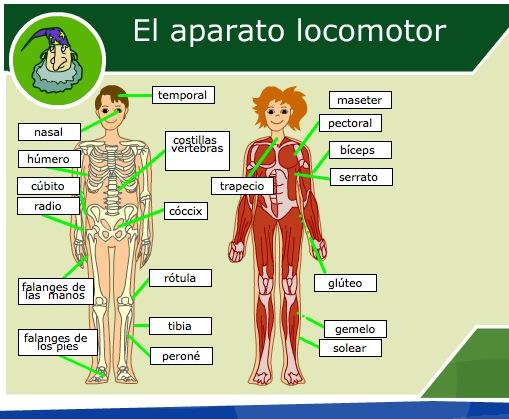 El aparato locomotor humano | Recurso educativo 35658 - Tiching