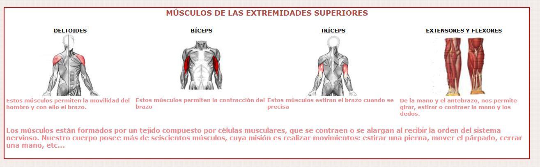 Músculos de las extremidades superiores | Recurso educativo 46660 ...