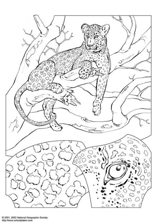 Dibujo Para Colorear Leopardo Recurso Educativo 103153