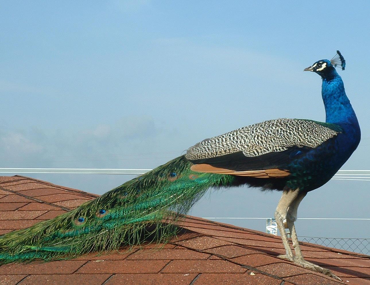 Pavo real fotograf a recurso educativo 103159 tiching - Fotos de un pavo real ...