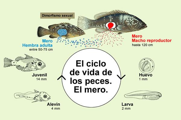 El ciclo de vida de los peces recurso educativo 103629 for La reproduccion de los peces
